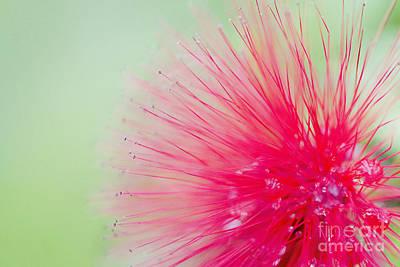 Powderpuff Flower Poster