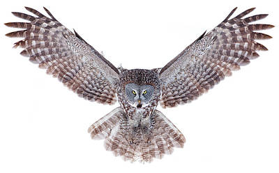 Power - Great Grey Owl Poster