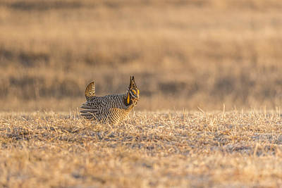 Prairie Chicken 2013-12.jpg Poster by Thomas Young