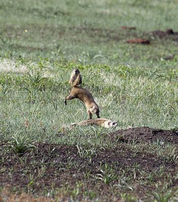 Prairie Dog Ferret Fight Poster by Sandy Nervig