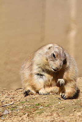 Prairie Dog - National Zoo - 01138 Poster by DC Photographer