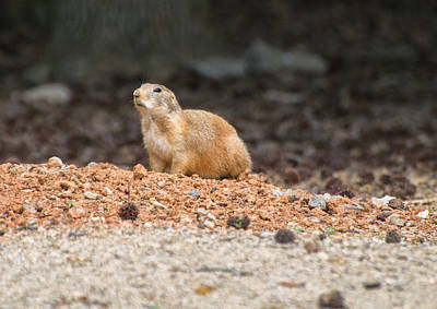 Prairie Dog On Alert  Poster