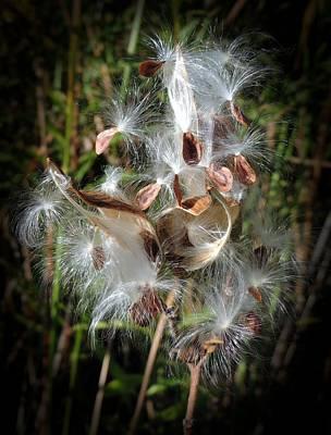 Prairie Milkweed Poster