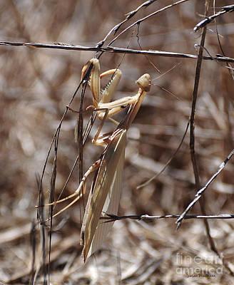 Praying Mantis Blending In Poster