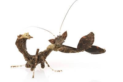 Praying Mantis Gorongosa Mozambique Poster