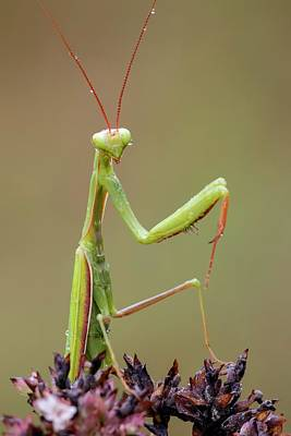Praying Mantis Poster by Heath Mcdonald