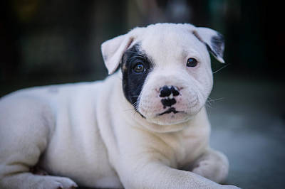 Precious Pup Leo The Staffy Poster