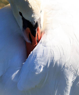 Preening Swan Poster by Cathy Donohoue
