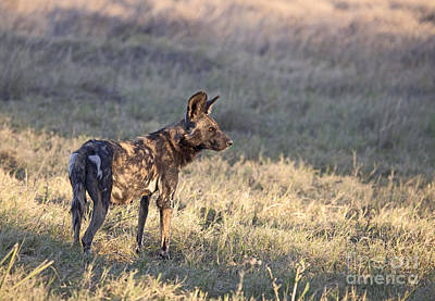 Poster featuring the photograph Pregnant African Wild Dog by Liz Leyden