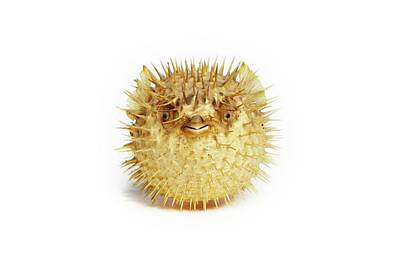 Preserved Pufferfish Poster