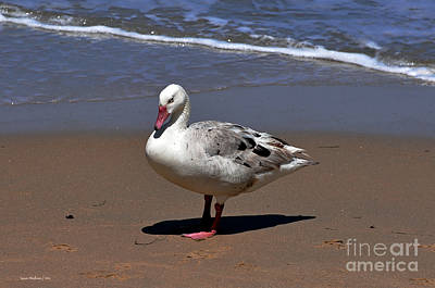Poster featuring the photograph Pretty Goose Posing On Monterey Beach by Susan Wiedmann