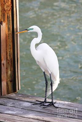 Pretty Great Egret Poster