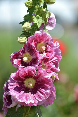 Pretty Hollyhock Flowers Poster
