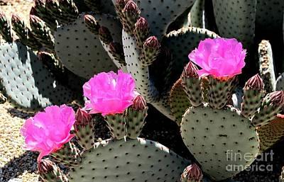 Pretty In Pink Cacti Poster by Michaline  Bak