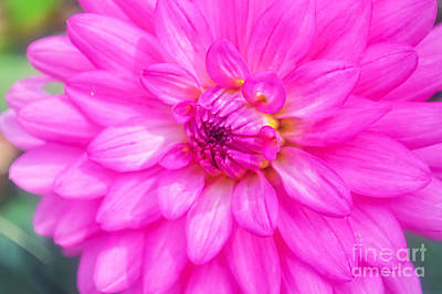 Pretty In Pink Dahlia Poster by Peggy Franz