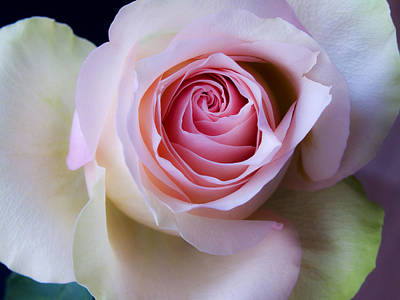 Pretty In Pink - Roses Macro Flowers Fine Art  Photography Poster