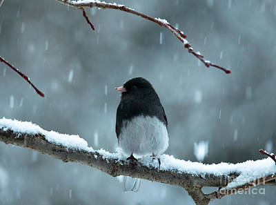 Pretty Junco Poster