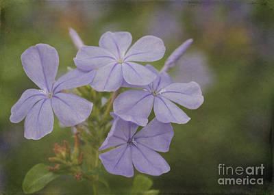 Pretty Lavendar Plumbago Flowers Poster by Sabrina L Ryan