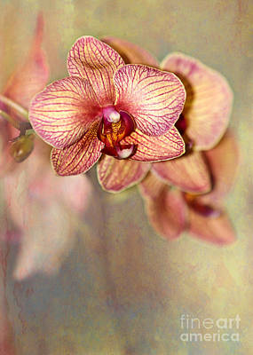 Pretty Peach Phalaenopsis Orchids Poster by Sabrina L Ryan