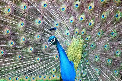 Poster featuring the photograph Pretty Peacock by Elizabeth Budd
