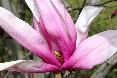 Poster featuring the photograph Pretty Pink Magnolia by Judy Palkimas