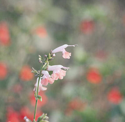 Pretty Pink Salvia Poster by Kim Hojnacki