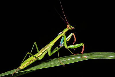 Preying Mantis, Odzala, Kokoua National Poster by Pete Oxford
