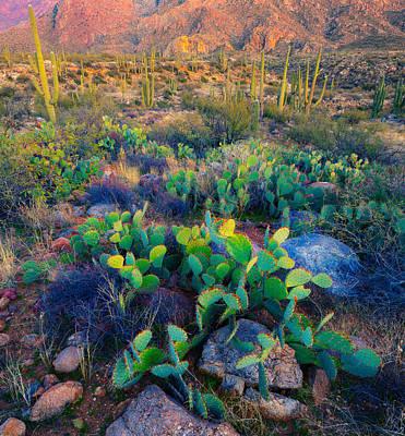 Prickly Pear And Saguaro Cacti, Santa Poster