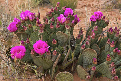 Prickly Pear Cactus, In Bloom, Valley Poster by Michel Hersen