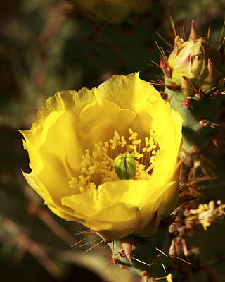 Prickly Pear Flower Poster by Alan Vance Ley