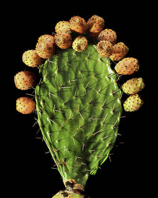Prickly Pear (opuntia Ficus-indica) Poster by Gilles Mermet