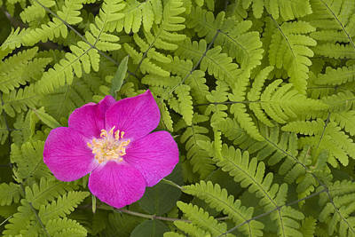 Prickly Rose Bloom In Ferns Far North Poster by Carl R. Battreall