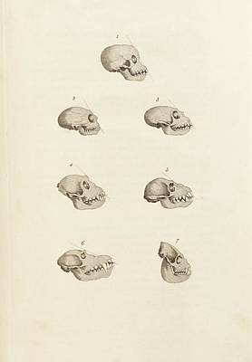 Primate Skulls Poster by King's College London
