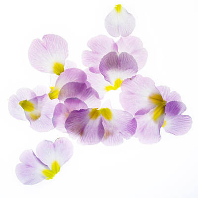 Primrose Petals 3 Poster by Rebecca Cozart