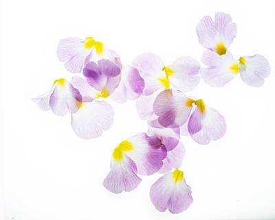 Primrose Petals 4 Poster by Rebecca Cozart