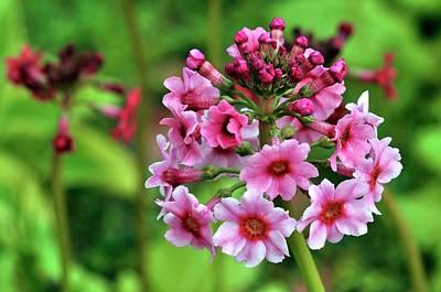 Primula Pulverulenta 'bartley' Flowers Poster