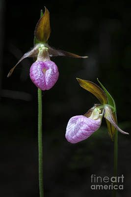 Prince Edward Island Lady Slippers Poster