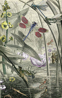 Print Of Dragonflies And Pond  Poster by Robert Jensen