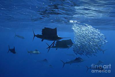 Prized Sail Fish Gamefish School Hunting Baitfish In Open Ocean Poster
