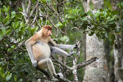 Proboscis Monkey In Tree Sabah Borneo Poster