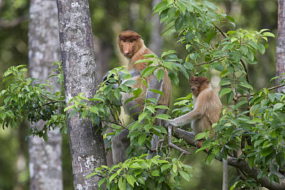 Proboscis Monkey Mother And Juvenile Poster