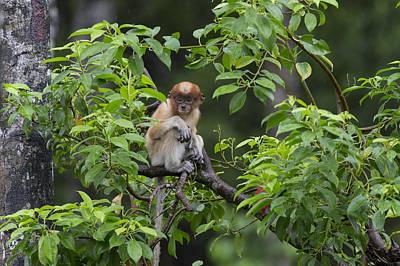 Proboscis Monkey Three Month Old Baby Poster