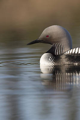 Profile Of A Pacific Loon Poster by Tim Grams