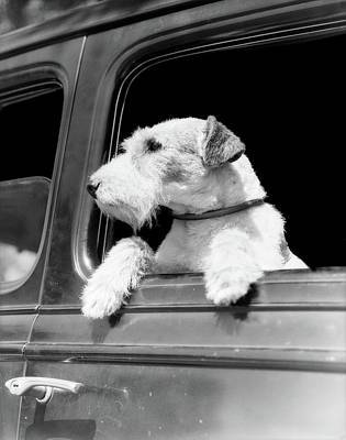 Profile Portrait Of Wire Fox Terrier Poster