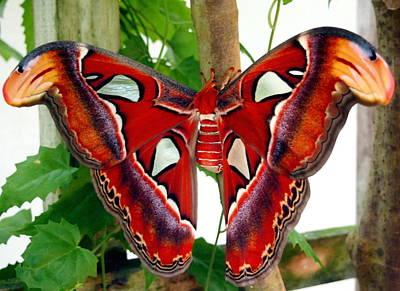 Promethea Moth Poster by Amy McDaniel
