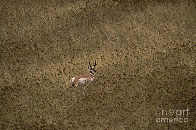 Pronghorn Buck Poster by Ron Sanford