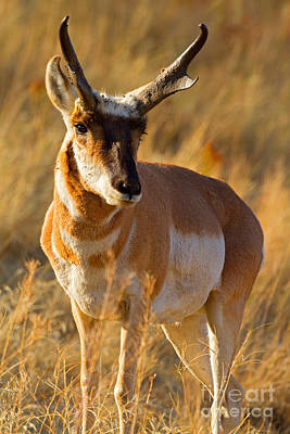 Poster featuring the photograph Pronghorn by Aaron Whittemore