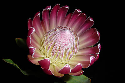 Protea Beauty Poster