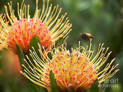 Poster featuring the photograph Protea Flowers Attracting Bee  by Alexandra Jordankova