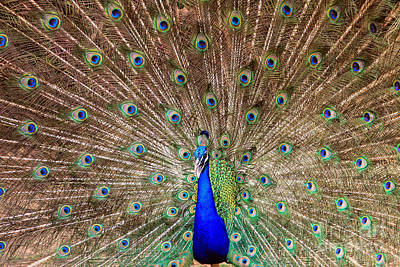 Poster featuring the photograph Proud Peacock by Geraldine DeBoer